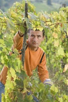 You can bring vibrancy back to just about any old grapevine with diligent pruning.