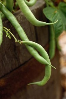 Plant bush beans with compatible plants for healthy, abundant yields.
