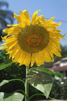 Common sunflower cultivars demonstrate the many purposes of this plant.