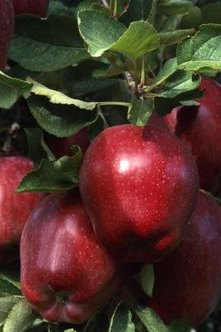 Red Delicious apple trees produce brightly colored fruit that is as tasty as its name implies.
