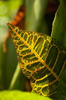 Crotons have large, leathery, colorful leaves.