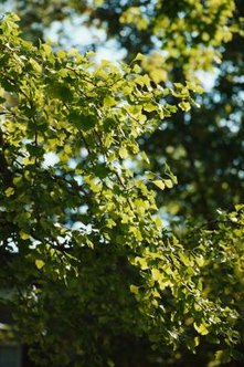 Gingko trees are generally tolerant of having their roots pruned.