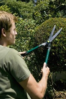 Boxwood hedges can be trimmed into formal shapes.