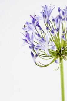 Usually, agapanthus blooms are variations of blue or violet.