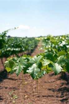 Many varieties of grapevines flourish in hot climates.