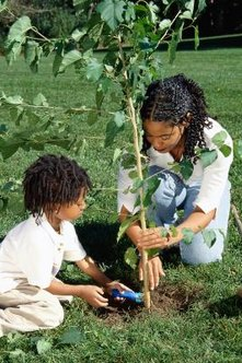 Proper planting ensures a healthy start for a new tree.