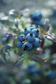 With the right mix of companions, you'll have a blueberry harvest that's easier to come by.
