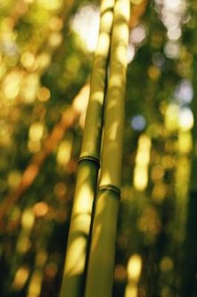 Bamboo spreads vigorously and stores energy with its thick, tough rhizomes, which are modified underground stems.