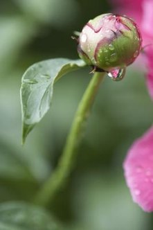 Don't prune or cut peonies for the vase when they are wet.