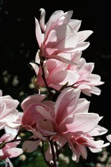 Magnolias are deeply fragrant, with large white or pink blooms covering a healthy tree.