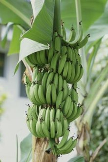 Bananas are picked green and ripen after harvest.