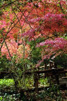 Japanese maples produce a light shade with their colorful foliage.