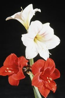 With proper care, amaryllis bulbs produce large, attractive flowers.