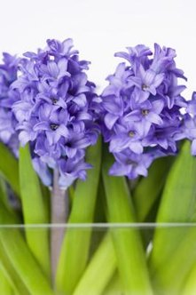 Forcing hyacinths indoors requires the proper timing and care.