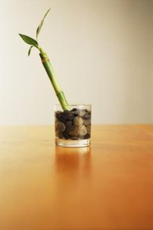 Lucky bamboo often is placed in a vase with water and stones.