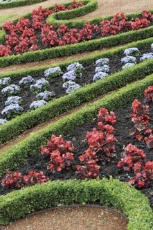 Boxwood makes an excellent hedge in formal gardens.