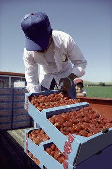Some farmworkers handle strawberries.