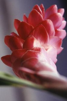 Growing ginger indoors gives the rhizome time to mature and produce blossoms.