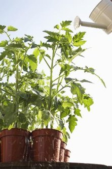 The tomato plant is susceptible to blight diseases.