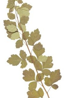 Flowering currant foliage is reminiscent of maple tree leaves.