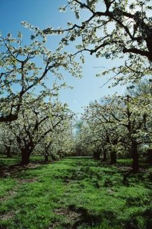 Pear trees require similar care to apple trees.
