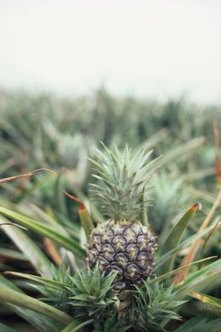 Pineapple fruits grow from the crown of the plant.