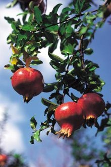 Pomegranate is adapted to a wide range of soils.