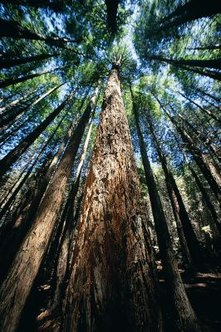 Redwood trees are both the tallest and oldest trees on earth.
