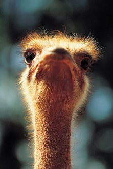An ostrich farm can generate revenue in several different ways.