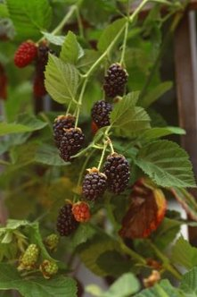 There are early-, mid- and late-season blackberry varieties.