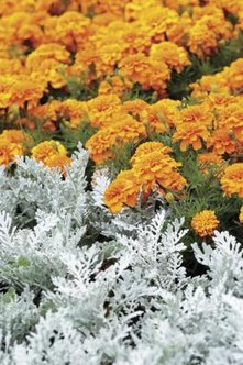 The silvery, slightly fuzzy, dusty miller foliage helps cool hot colors in the garden.