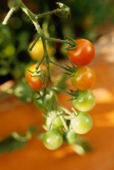 Take care of your tomato plant problems early to maximize fruit yield.