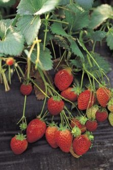 Proper planting and care will produce greater strawberry yields..