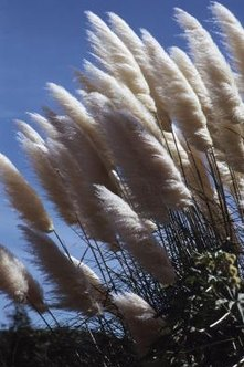 Pampas grass is an ornamental grass that is actually invasive in California.