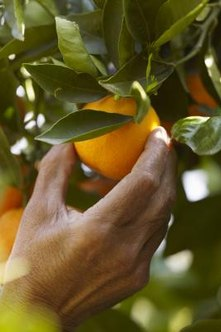 Transplant an orange tree at the right time to protect fruit production.