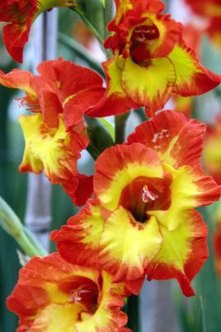 Gladiolus plants have one or two tall stems with flowers that open in sequence.