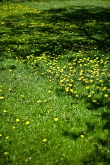 Dandelions and other broadleaf weeds can mar a St. Augustine grass carpet.