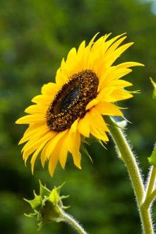 Unmistakable sunflower blooms can be seen throughout much of summer and fall.