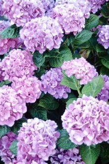 Hydrangea's blooms require removal, but different times apply depending on your plant.