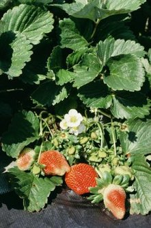 Garden strawberries leaves should not turn brown on healthy plants.