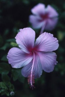 Rose of Sharon brings tropical flair to the garden.