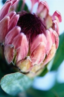 Proteas grow native to South Africa.