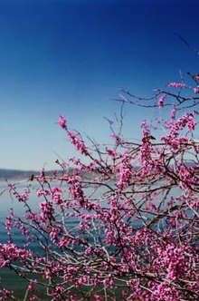 The abundant blooms cover Eastern redbud trees before any leaf buds open.