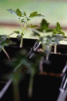Tomato seedlings grown indoors without sufficient lighting will grow leggy.