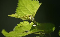 The Benefits & Side Effects of Nettle Leaf Tea