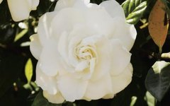 Different Kinds of Gardenias