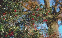 Fertilizers for Holly Bushes