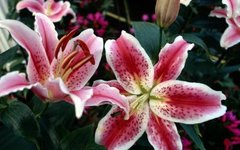 How to Prune Oriental Lilies