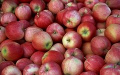 When Are Gala Apples Ripe?