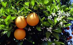 In What Climate Do Oranges Grow?